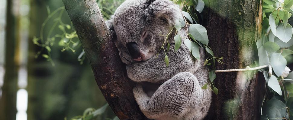 Drone spot koala's beter dan mensen