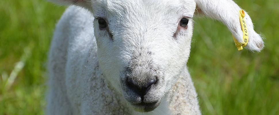 Lam-cam op Texel: Lammetjes via GPS te volgen